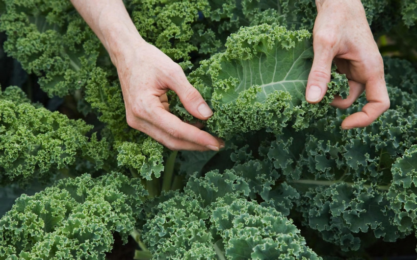 kale that is less bitter is the sweet taste of brexit